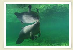 Photo of Manatee underwater
